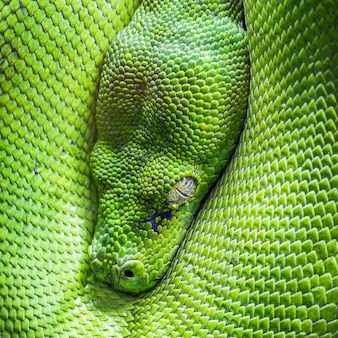 Ojo de pitón arborícola verde