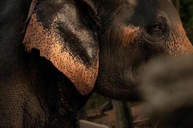 Los ojos y la cabeza de un elefante.