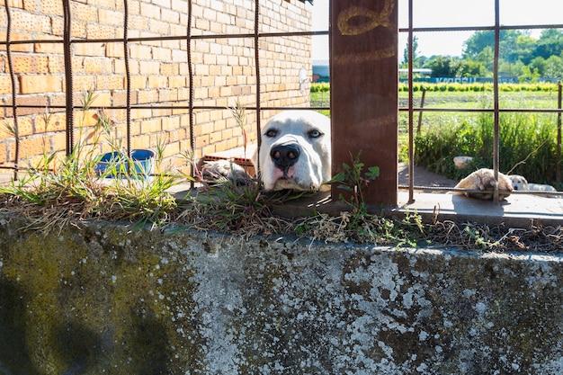 Ojos de diferentes colores en un perro de raza mastín español