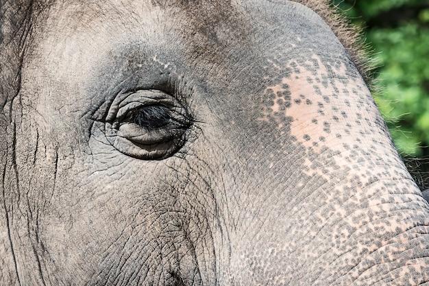 Ojos de elefante asiático.