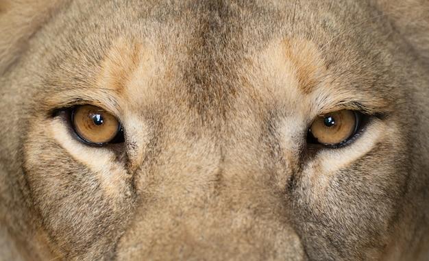 Los ojos femeninos del león se cierran para arriba