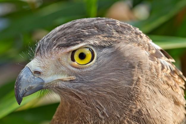Ojos mirando del águila.