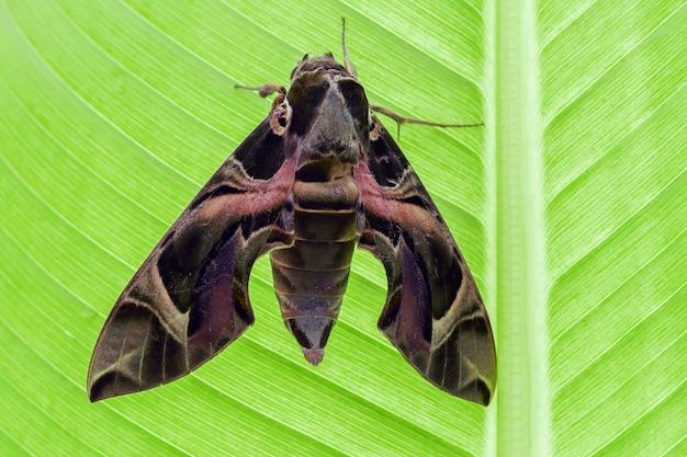 Oleander hawk moth en hoja de plátano verde