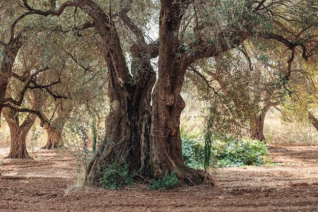 Olivos enfermos de xilella en salento, sur de apulia, italia