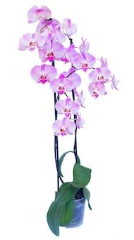 Olla con rama de orquídea fresca rosa con flores aislado sobre fondo blanco.