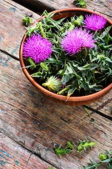 Onopordum y herbalism.thistle
