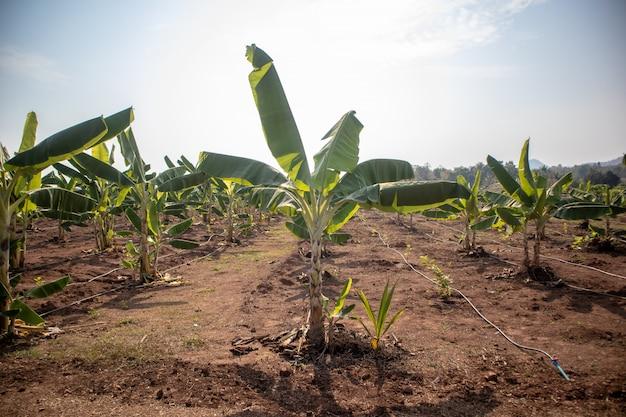 Opinión del paisaje de la granja del plátano en luz del día.