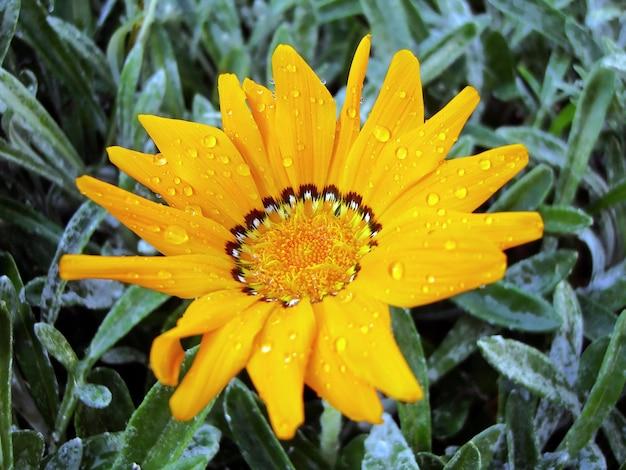 Opinión del primer de una flor anaranjada de gazania rigens con descensos del agua en las hojas.