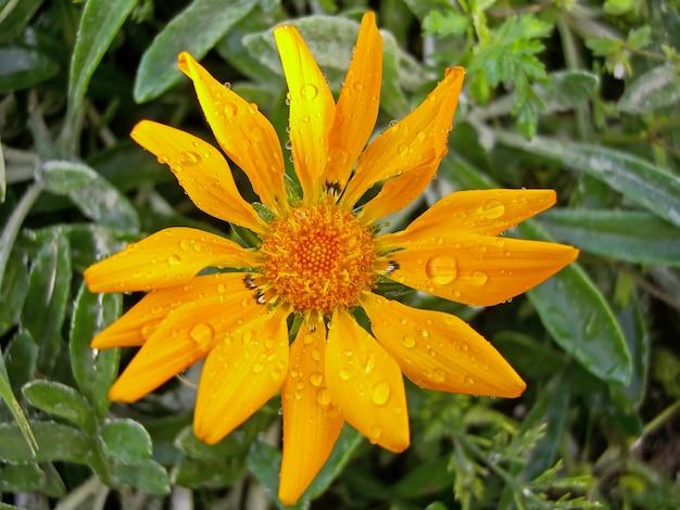La opinión superior del primer de un gazania anaranjado rigens florece con gotas del agua.