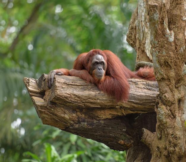 Orangután adulto descansando sobre el tronco del árbol