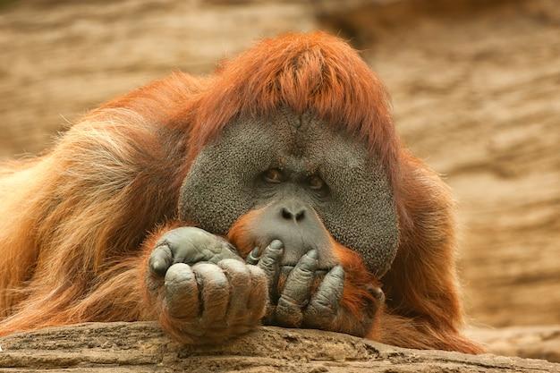Orangután o pongo pygmaeus
