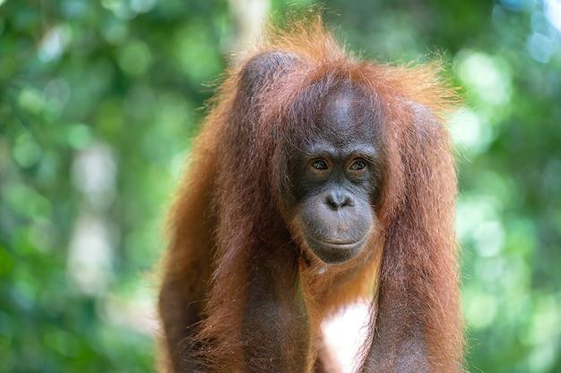 Orangután salvaje en la selva de borneo