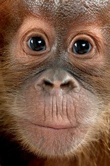Orangután de sumatra bebé, de pie