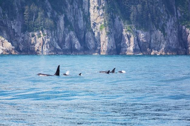 Orca (ballena asesina) en alaska