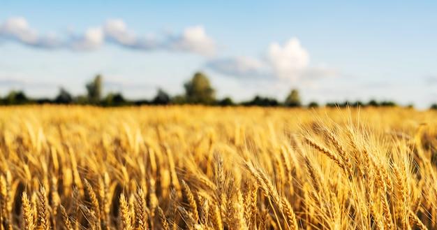 Orejas de campo de trigo golden wheat close. papel pintado.