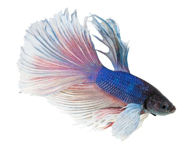 Orejas de elefante pez betta, azul y blanco halfmoon betta splendens o pez luchador siamés aislado en blanco