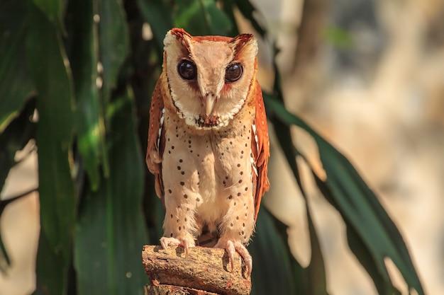 Oriental bay owl en el zoológico.
