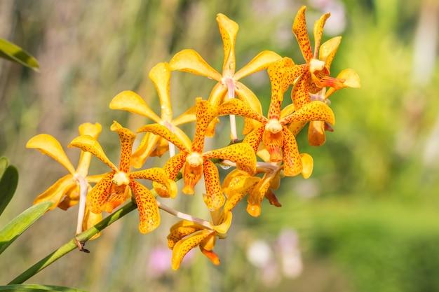 Orquídea amarilla, mokara.