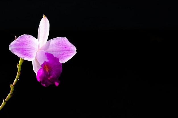 La orquídea de bambú rosa (arundina graminifolia) es una orquídea.