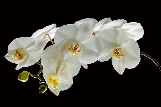 Orquídea blanca aislada en negro.