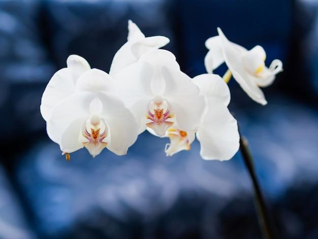 Orquídea blanca hermosa phalaenopsis en azul marino.