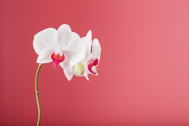Orquídea blanca tropical sobre un fondo rosa. espacio libre, espacio de copia