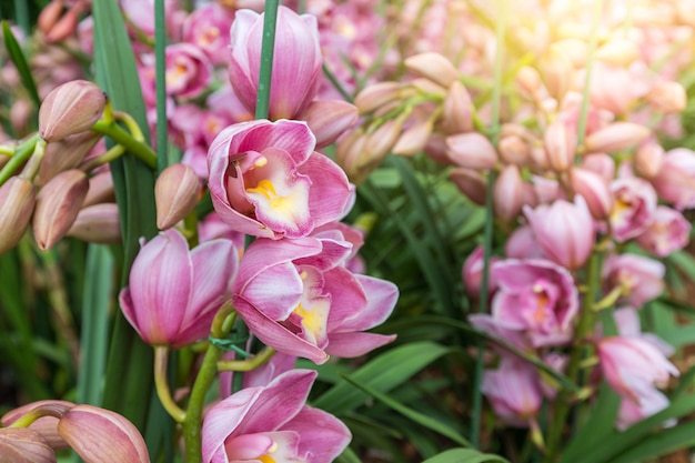 La orquídea cymbidium o la orquídea o barco tienen espigas de flores altamente decorativas.