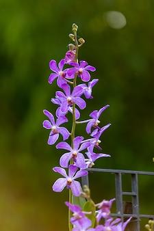 Orquidea morada en la naturaleza