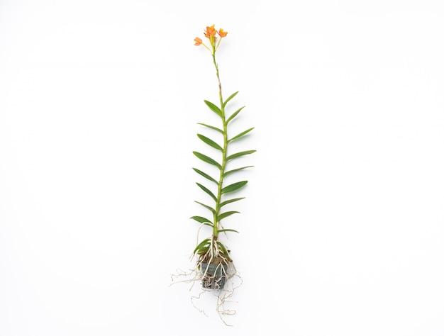 Orquídea naranja sobre fondo blanco aislado