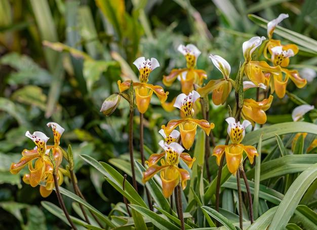 Orquídea paphiopedilum en doi ang khang, chiang mai, tailandia