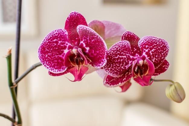 Orquídea phalaenopsis hermosa púrpura en flor