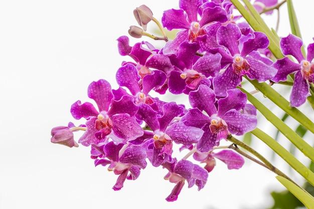 Orquídea púrpura, mokara, vanda.