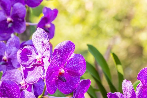 Orquídea púrpura, vanda, entre la luz del sol brillante y las hojas verdes desenfoque de fondo, en un estilo borroso suave, con espacio para texto, punto de enfoque selectivo.