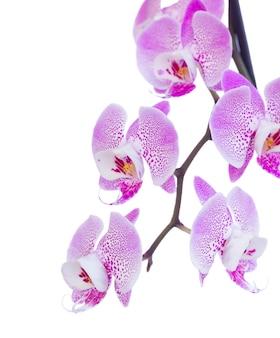 Orquídea rosa cerca aislado sobre fondo blanco.