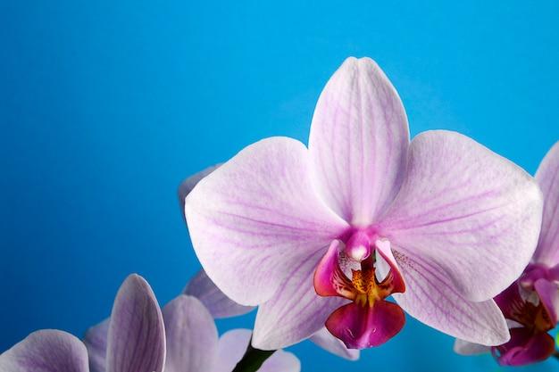 Orquídea rosada hermosa en fondo azul con el espacio para el texto