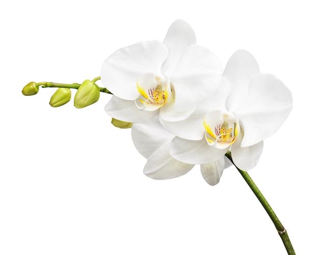 Orquídea de tres días aislada en blanco