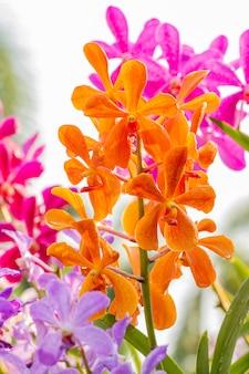 Orquídeas anaranjadas, mokara, vanda.