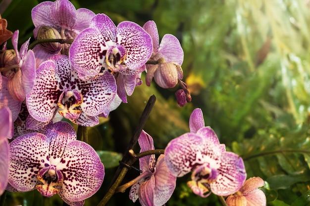 Orquídeas en flor en el invernadero.