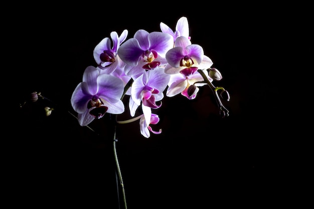 Orquídeas rosadas elegantes aisladas en fondo negro