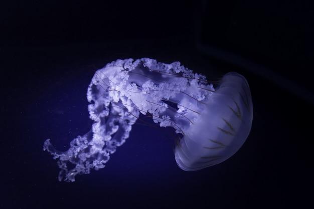 Ortiga sudamericana nadando en aguas profundas
