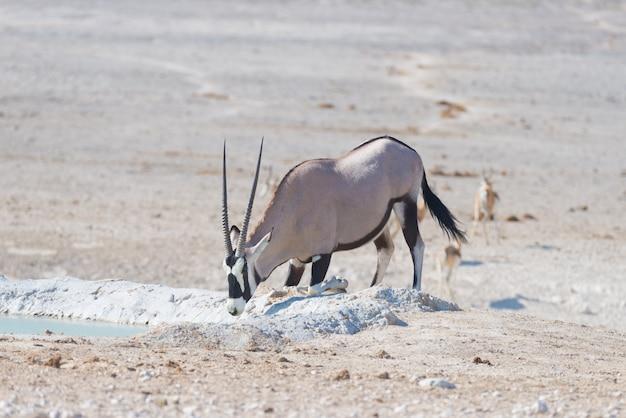 Oryx arrodillado y bebiendo del pozo de agua a la luz del día
