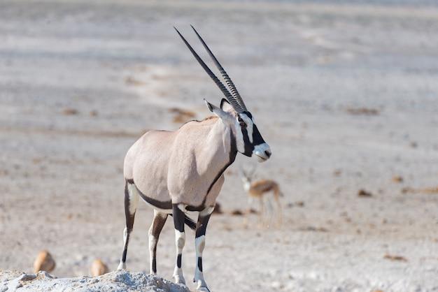 Oryx de pie en la sabana africana, el majestuoso parque nacional de etosha, el mejor destino de viaje en namibia, áfrica.