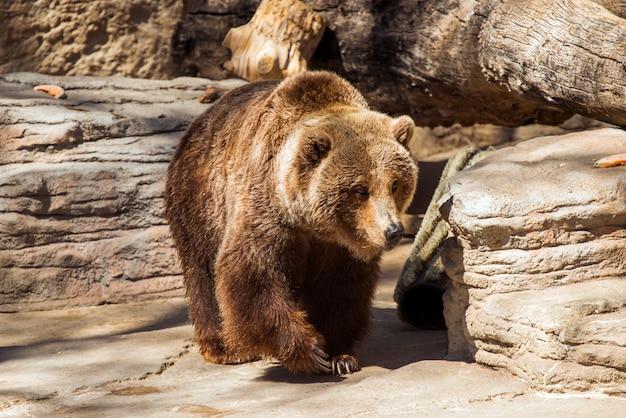 Oso grizzly que camina