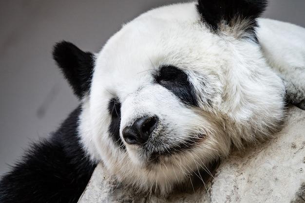 Oso panda gigante durmiendo en las rocas.