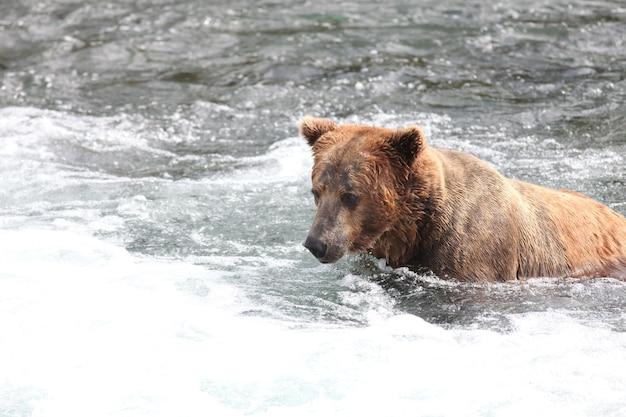 Oso pardo pescar en el río en alaska