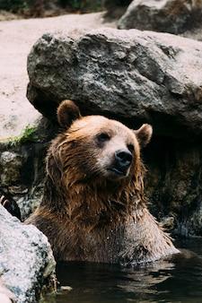 Oso pardo en el zoológico del bronx. nueva york