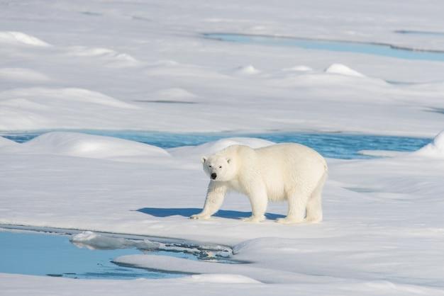 Oso polar en la bolsa de hielo