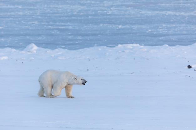 Oso polar caminando sobre la nieve cerca del congelado billefjorden en svalbard