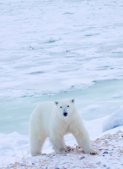Oso polar de pie en el campo cubierto de nieve
