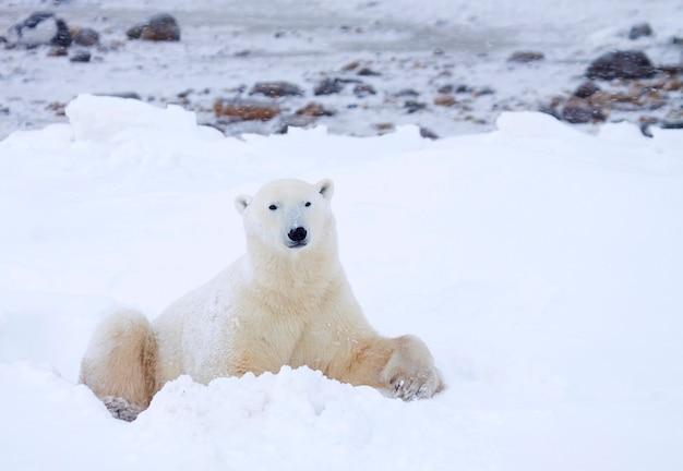 Oso polar, por la que se en el campo de nieve